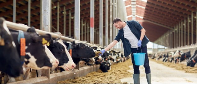 lone working farmer feeding his cows